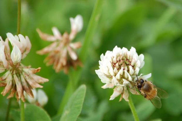 Bee Clover 6.20.13 (44)