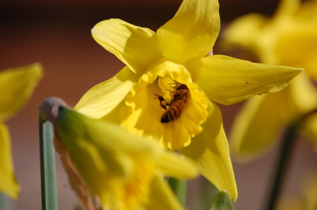 Bee in Daffodil 3.7.13 (20)
