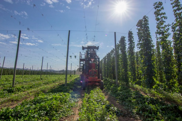 Freedom Hop Harvest August 2014 29