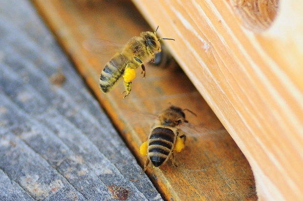 With their corbula stuffed with pollen, these honeybees arrive at the hive.