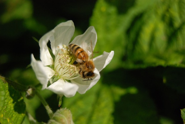 A Rogue Farms honeybee collecting nectar from one of our Prickless Marionberries.