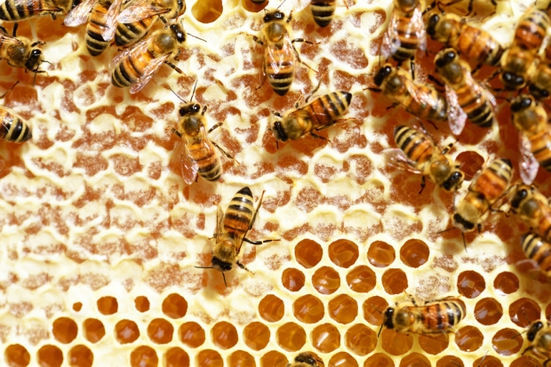 Honeybees store honey in small cells that are capped with wax.