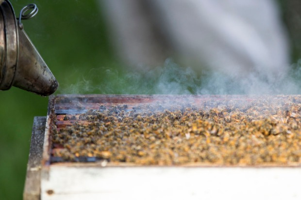 A little smoke calms the bees. Honeybees communicate through phermones. The smoke interferes with that so, if one bees raises the alarm about us removing honey, the other bees don't get the message.