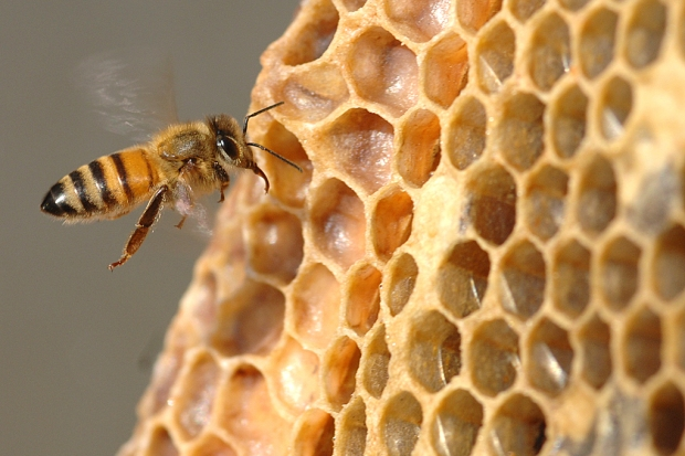 A honeybees fans her wings, creating a breeze that dries out the honey.