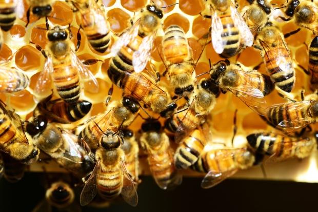 honey-bees-345620_Medium Blogs