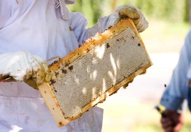 Here's what we pull from the hive, a perfectly sealed honeycomb filled with honey.