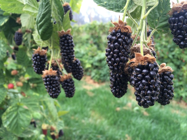 marionberry harvest 8