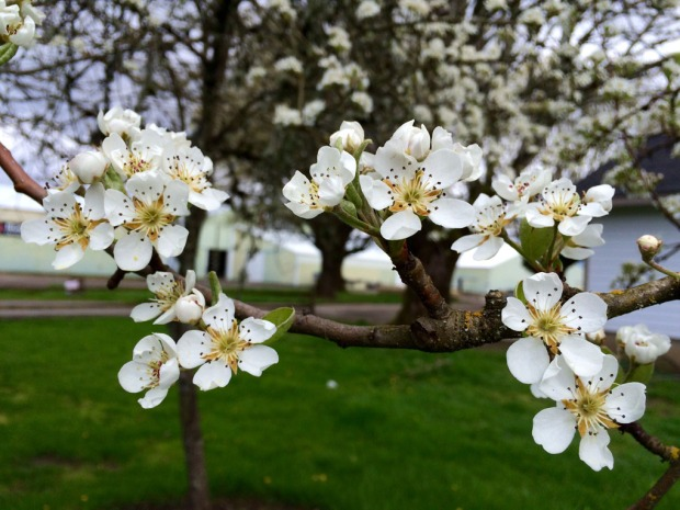 Flowering pears in the Rogue Farms orchard.